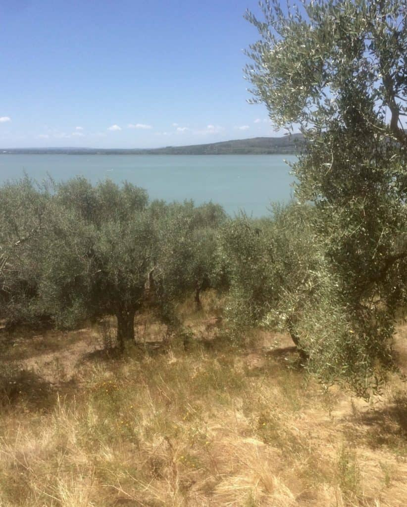 An ancient olive grove on Trasimeno Lake in Umbria.